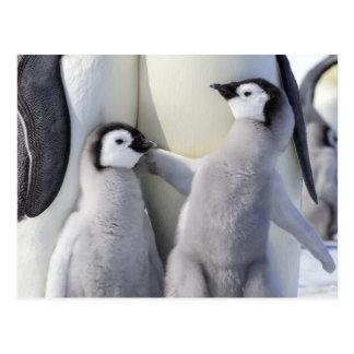 Polluelo travieso del pingüino de emperador postal