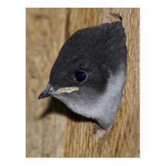 polluelo Violeta-verde del trago - postal