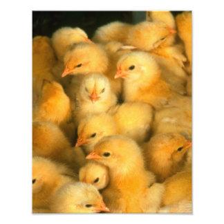 Polluelos amarillos del bebé cojinete
