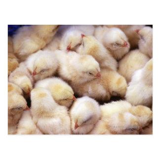 polluelos, cría de pollos postales