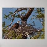 Polluelos de Eagle calvo - impresiones de la bella