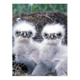 Polluelos de Eagle calvo Tarjeta Postal