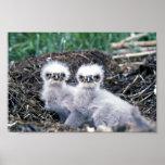 Polluelos del águila calva impresiones