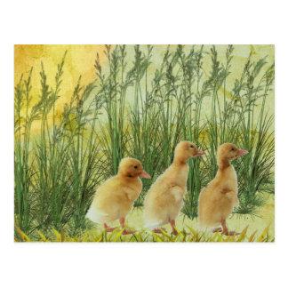 Polluelos del bebé postales