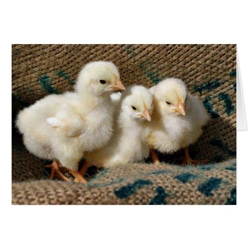 Polluelos del bebé tarjeton