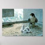 Polluelos del halcón de peregrino, femeninos posters