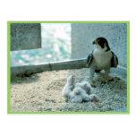 Polluelos del halcón de peregrino, femeninos postales