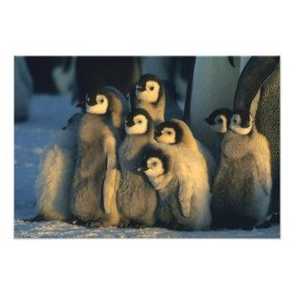 Polluelos del pingüino de emperador en la guarderí fotografías
