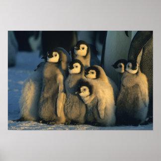 Polluelos del pingüino de emperador en la guarderí póster