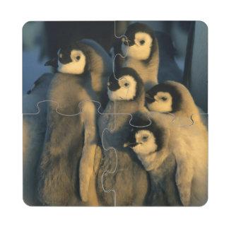 Polluelos del pingüino de emperador en la posavasos de puzzle