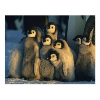 Polluelos del pingüino de emperador en la postal