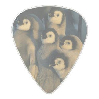 Polluelos del pingüino de emperador en la púa de guitarra acetal