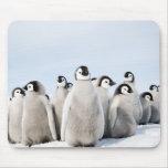Polluelos del pingüino de emperador alfombrilla de raton
