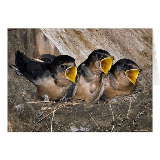 Polluelos del trago del canto - tarjetas