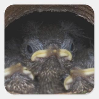 polluelos del wren de máquina de hilar pegatina cuadrada