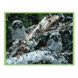 Polluelos septentrionales del búho de halcón tarjetas postales