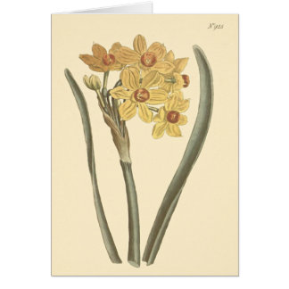 Polyanthus Narcissus Botanical Illustration Card