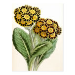 """""""Polyanthus"""" Vintage Flower Illustration Post Cards"""