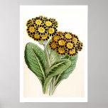 """""""Polyanthus"""" Vintage Flower Illustration Print"""