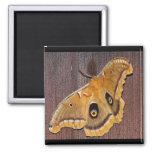 Polyphemus Moth Magnet