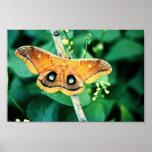 Polyphemus Moth Posters