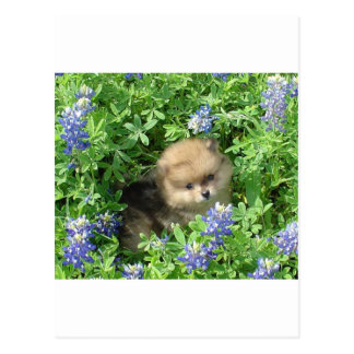 Pom Pup In Blue Bonnets Postcard