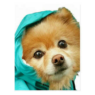 Pom Raincoat Series Postcard