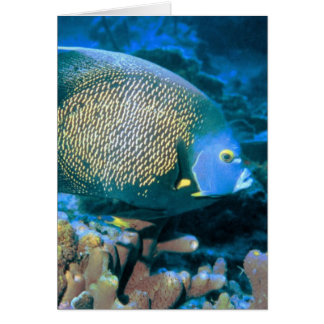 Pomacanthus Fish Card