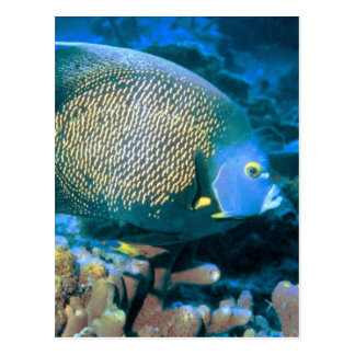 Pomacanthus Fish Post Cards