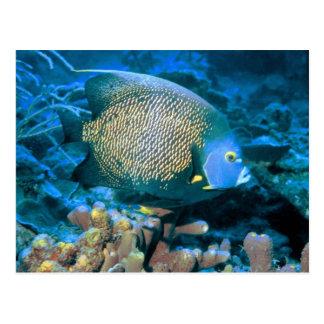 Pomacanthus Fish Postcard