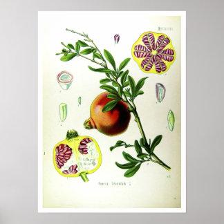 Pomegranate - Scientific Illustrations Poster