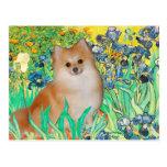 Pomeranian 3 - Irises Post Card
