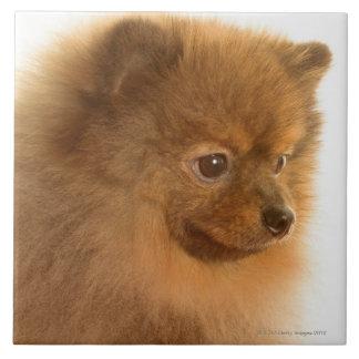 Pomeranian Azulejo Cuadrado Grande