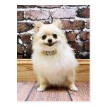 Pomeranian - cuello de la vanidad de Abby Postal