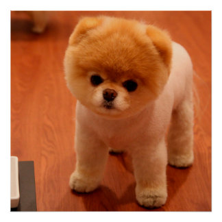 Pomeranian-cute puppies-spitz-pom dog-pom puppies poster