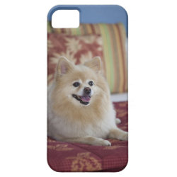 Pomeranian dog in pet friendly hotel room iPhone SE/5/5s case