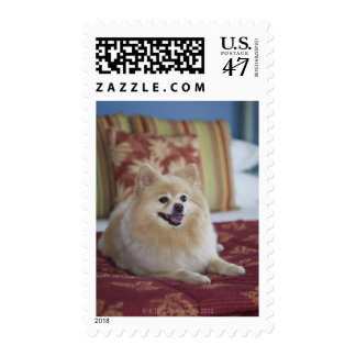 Pomeranian dog in pet friendly hotel room postage