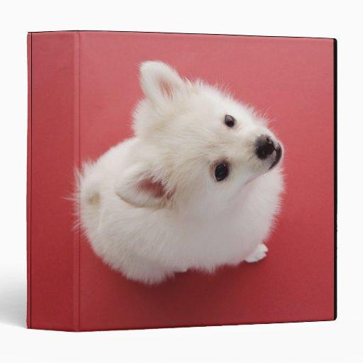 Pomeranian en la alfombra roja