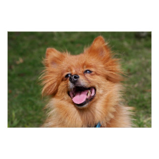 Pomeranian happy dog poster, print, gift idea poster