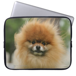 Pomeranian Headshot Looking at Camera Computer Sleeve