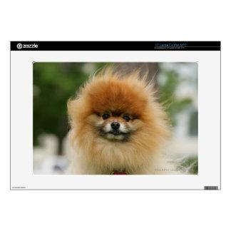 Pomeranian Headshot Looking at Camera Laptop Skins