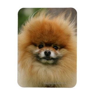 Pomeranian Headshot Looking at Camera Magnet