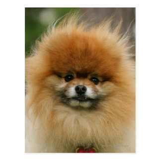 Pomeranian Headshot Looking at Camera Postcard