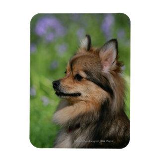 Pomeranian Headshot Sitting Magnet
