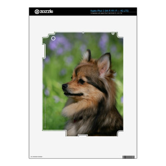 Pomeranian Headshot Sitting Skin For iPad 3