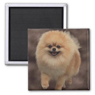 Pomeranian Iman De Frigorífico
