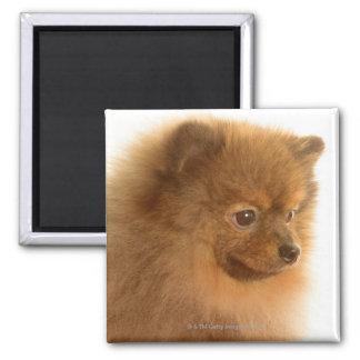 Pomeranian Imán Cuadrado
