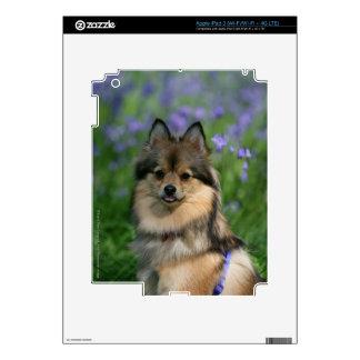 Pomeranian in the Grass iPad 3 Skin