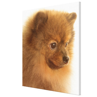Pomeranian Lienzo Envuelto Para Galerías