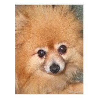 Pomeranian lindo hace frente postales